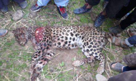 Man kills leopard to save his children in Kupwara village