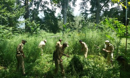 Police destroys bung cultivation in Gutlibagh area of Ganderbal