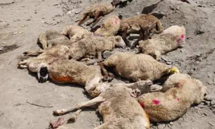 Many livestock die amid highway closure, Mutton dealers suffer huge loss