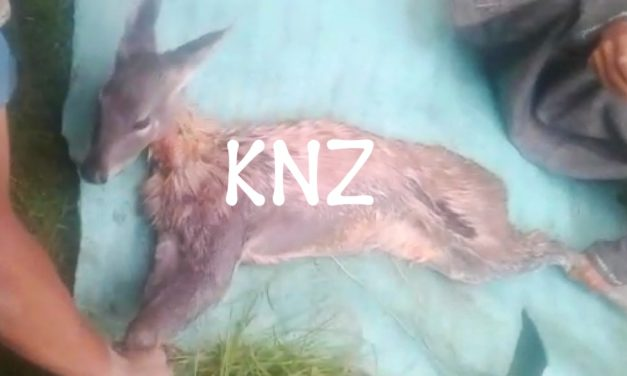 Musk deer captured alive in Chattergul Kangan; shifted to Dachigam National Park